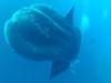 なんじゃこりゃ!体長5m級の超巨大マンボーをとらえた映像がスゴ過ぎる!